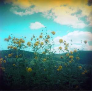 Globeflowers and blue skies - Copy